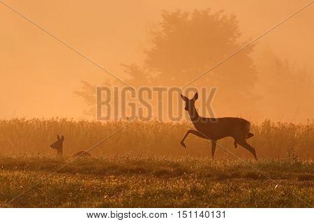 Deer walking in nature at daybreak in landscape