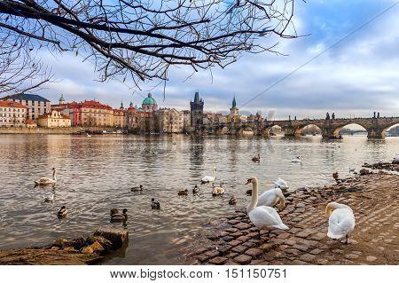 Swans and ducks on stone bank of Vltava river as Charles Bridge on background in Prague, Czech Republic.