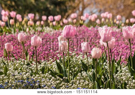 closeup of pink and white springtime flowers flowerbed