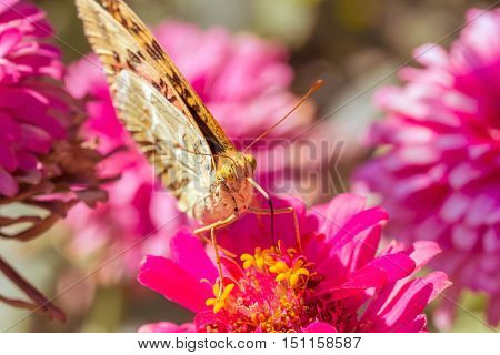 Beautiful Silver-washed fritillary(Argynnis anargyra) butterfly on a pink zinnia flower in a flower bed in the garden on a sunny autumn day close-up. Photo toned. The background is blurred