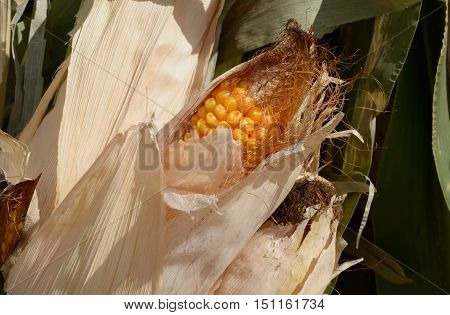 Close up of ear of corn on green crn stalk