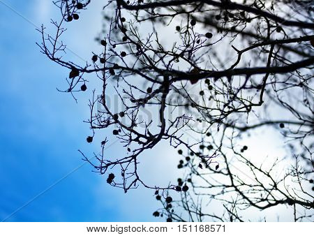 Tree branches with little fruits against cloudy afternoon sky
