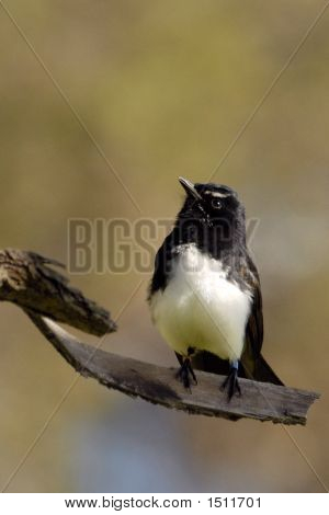 Willy Wagtail Looking Up