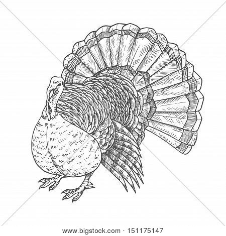 Thanksgiving turkey. Vector isolated turkey bird element for thanksgiving decoration design, greeting card, invitation. Vector pencil sketch object