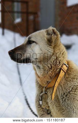 Animals, dog, dog, alabay, friend, man, face, view, chain, guard, guard, shepherd