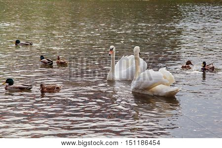 Three Juvenile Swan Swimming On The River
