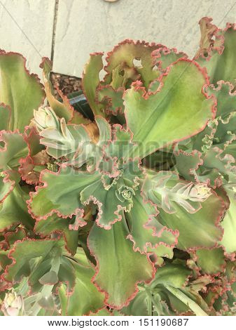 green and pink large succulent plant in bloom