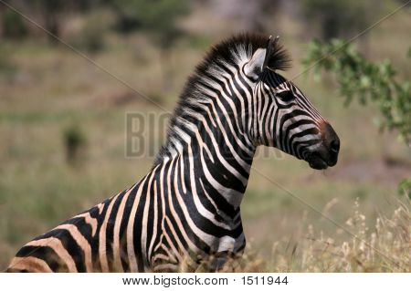 Zebra Portrait In Game Reserve