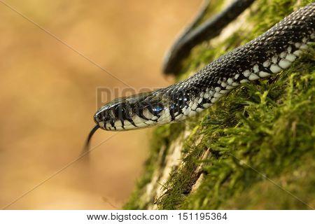 European non venomous water Grass snake show tongue