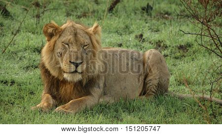 Closeup of old male lion with scars lying down with eyes closed