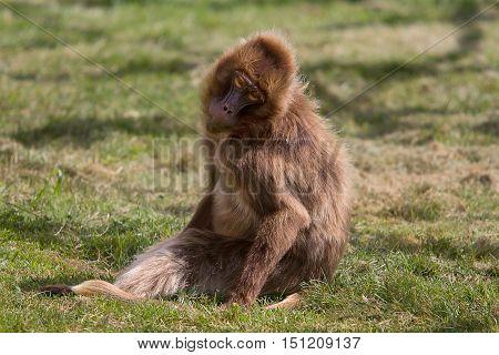 photo of a female Gelada Baboon sitting in sunshine