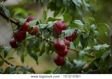 Several ripe red nectarines hanging from the branches of a tree in an orchard. Concept of organic farming fresh, natural, healthy, unprocessed fruit.