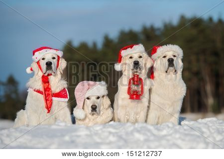 group of golden retriever dogs in santa hats posing in the snow