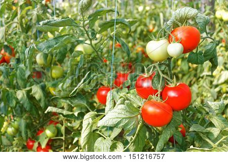 Many Ripe Red Tomato Fruits In Greenhouse