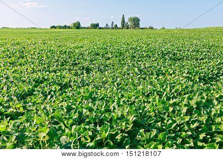 Green Soybean Field