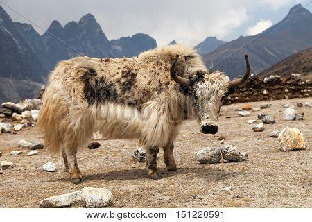 White yak on the way to Everest base camp - Nepal
