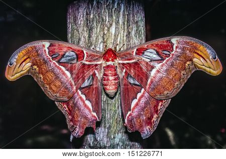 Atlas moth Attacus atlas is a large saturniid moth found in the tropical and subtropical forests of Southeast Asia