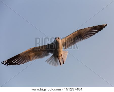 Flying seagull in the blue sky in Myanmar