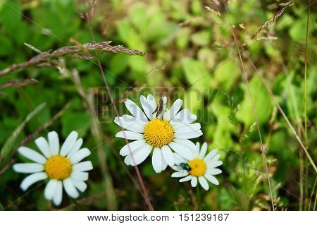 Beautiful daisy flower. The grasshopper standing on a daisy.