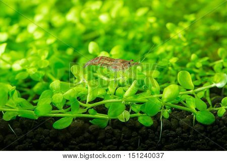 cherry freshwater shrimp and aquatic plant. aquatic animals.