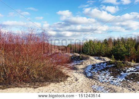 Sand dunes of the Baltic Sea with the red willow and snow on a background of green forest in the early spring on a sunny day with clouds on the blue sky
