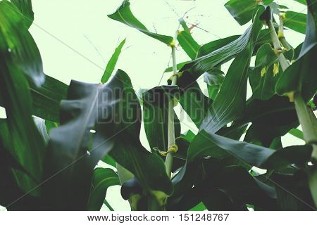 In the thickets of corn background, leaf, maize sky blue