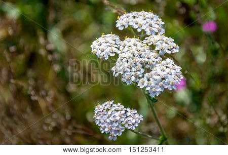 Closeup of a white flowering common yarrow or Achillea millefolium plant in it own natural habitat on a sunny day in the summer season.
