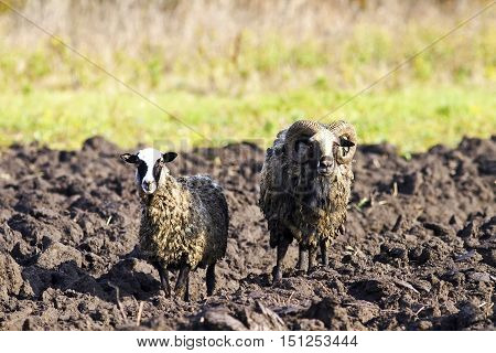 a couple of sheep standing on a plowed field on the farm
