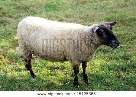 a view of a sheep has black head
