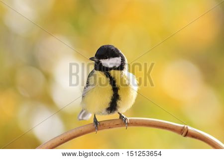 tit sitting on a branch with yellow leaves in autumn Park