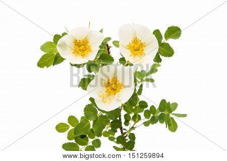 White Dog rose isolated on white background