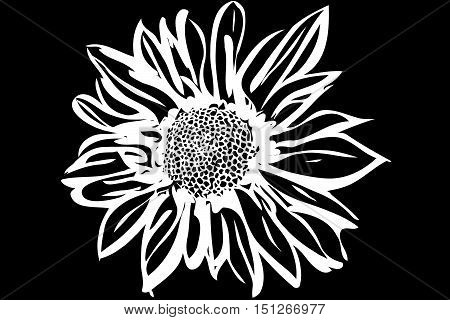 vector image of a beautiful autumn flower chrysanthemum