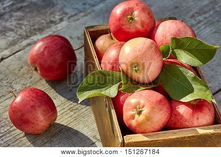 Box of freshly harvested apples on wooden table in autumn garden. Natural fruit concept.