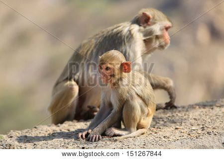 India Rajasthan Jaipur indian Macaque monkeys with baby taken in Galata