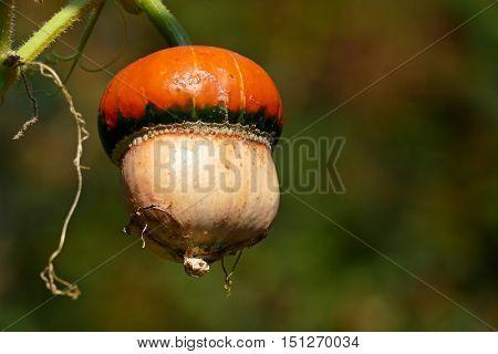 Orange pumpkin on the stem. Ripe vegetable.