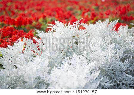Cineraria maritima silver dust. Soft Focus Dusty Miller Plant. Background Texture.