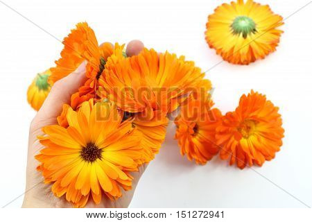 Calendula officinalis flower marigold. Group of blossom in hand isolated on white background.