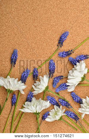 White Chrysanthemum And Blue Grape Hyacinth On Cork Background. Studio Lights And Shadows. Purity An