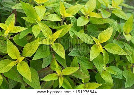 Closeup green leaves of Pineapple sage, also called Tangerine sage (Salvia elegans)