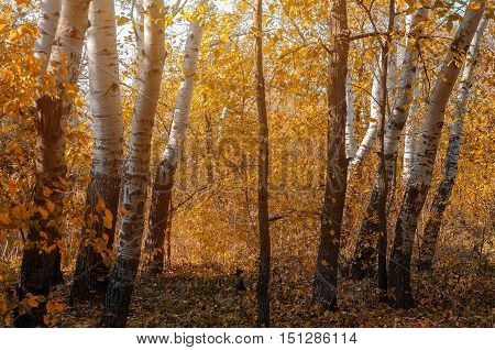 Vivid colors of autumn birch forest. The old birch forest in autumn