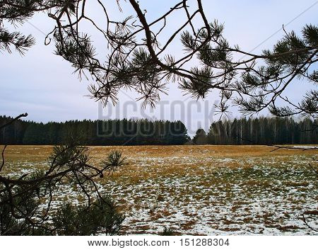 Autumn landscape Urals. The turned yellow grass in the field is strewn lightly with the first snow. On a background the wood. Pines. Birches without leaves. A natural frame from pine branches