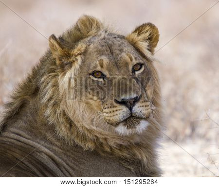 Wild Young male lion with eye contact