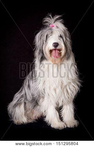 Old English Sheepdog sitting in black studio