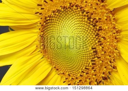 beautiful sunflower with stamens full of pollen at an an oblique angle on a black background