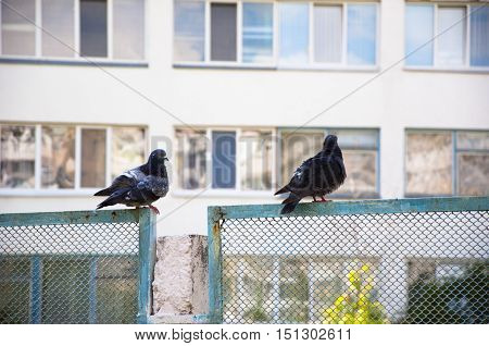 two pigeon or dove birds with feather black color sits on metallic or metallized net fence summer outdoor near house building with many windows