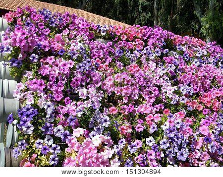 The Petunia flowers in park of Ramat Gan Israel