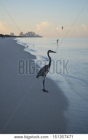 Great blue heron standing on a Naples Florida beach on the shore at dawn.