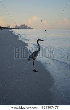 Great blue heron standing on the beach shore at dawn.