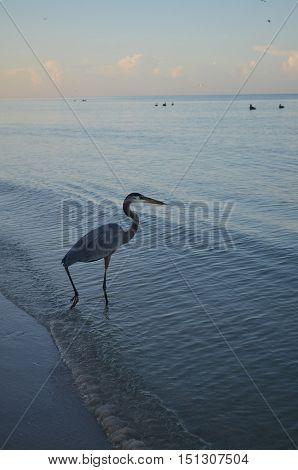 Beautiful great blue heron wading into the ocean.