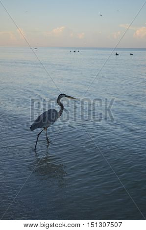 Great blue heron looking for fish in shallow waters.